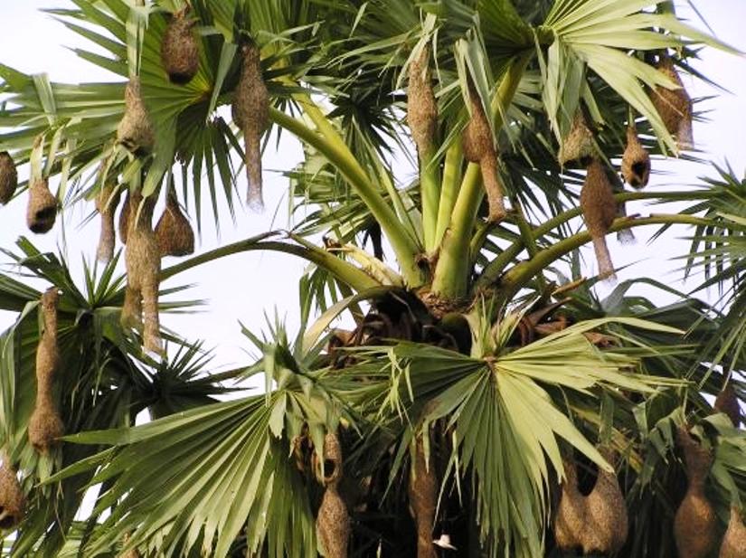 বিলুপ্ত হচ্ছে নিপুণ কারিগর: বাবুই পাখির বাসা