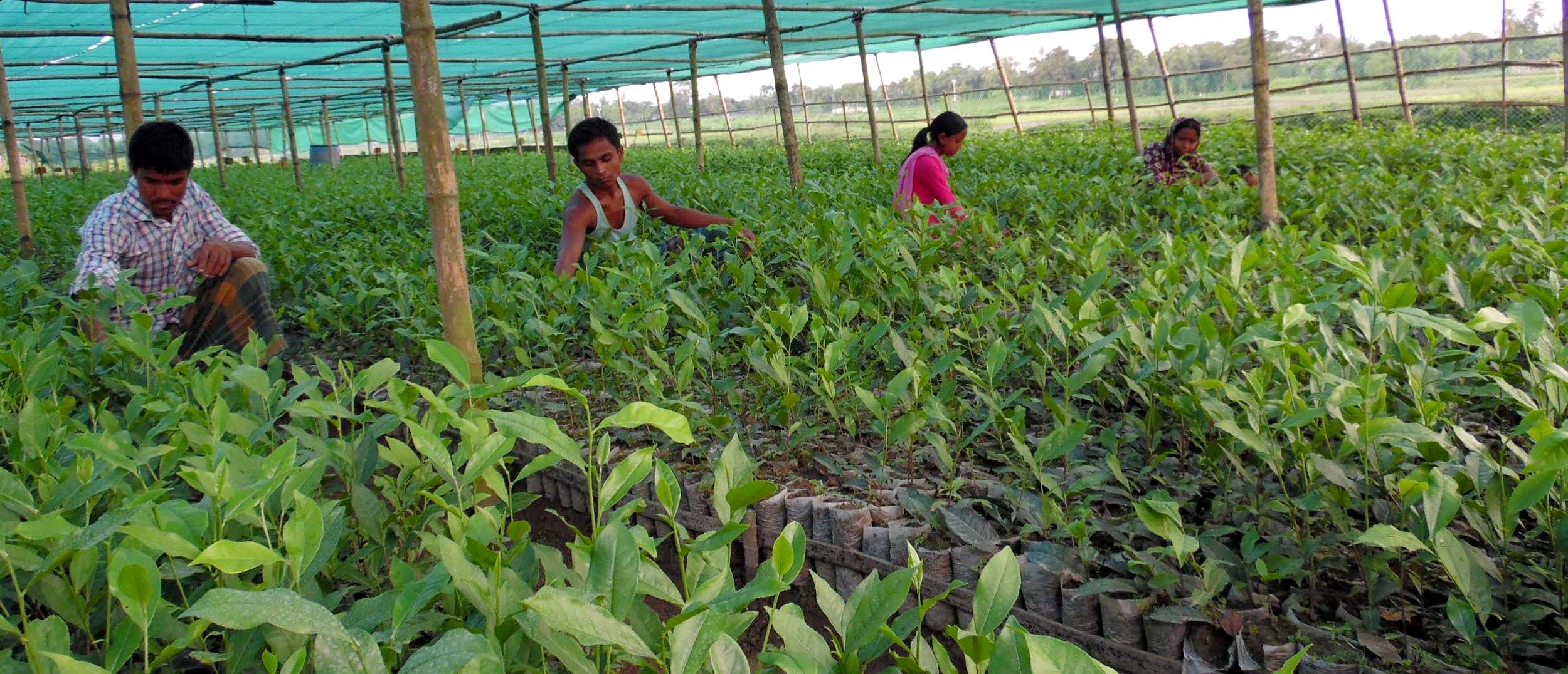 লো-ভোল্টেজের অজুহাতে চা প্রসেসিং কারখানা বন্ধ: বিপাকে কৃষক